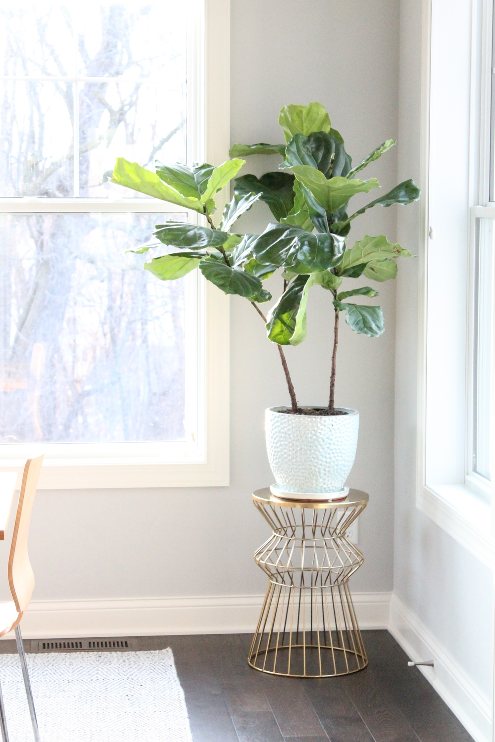 Fiddly Fig plant on Gold plant stand. I love the life that it adds to this sunny breakfast nook.