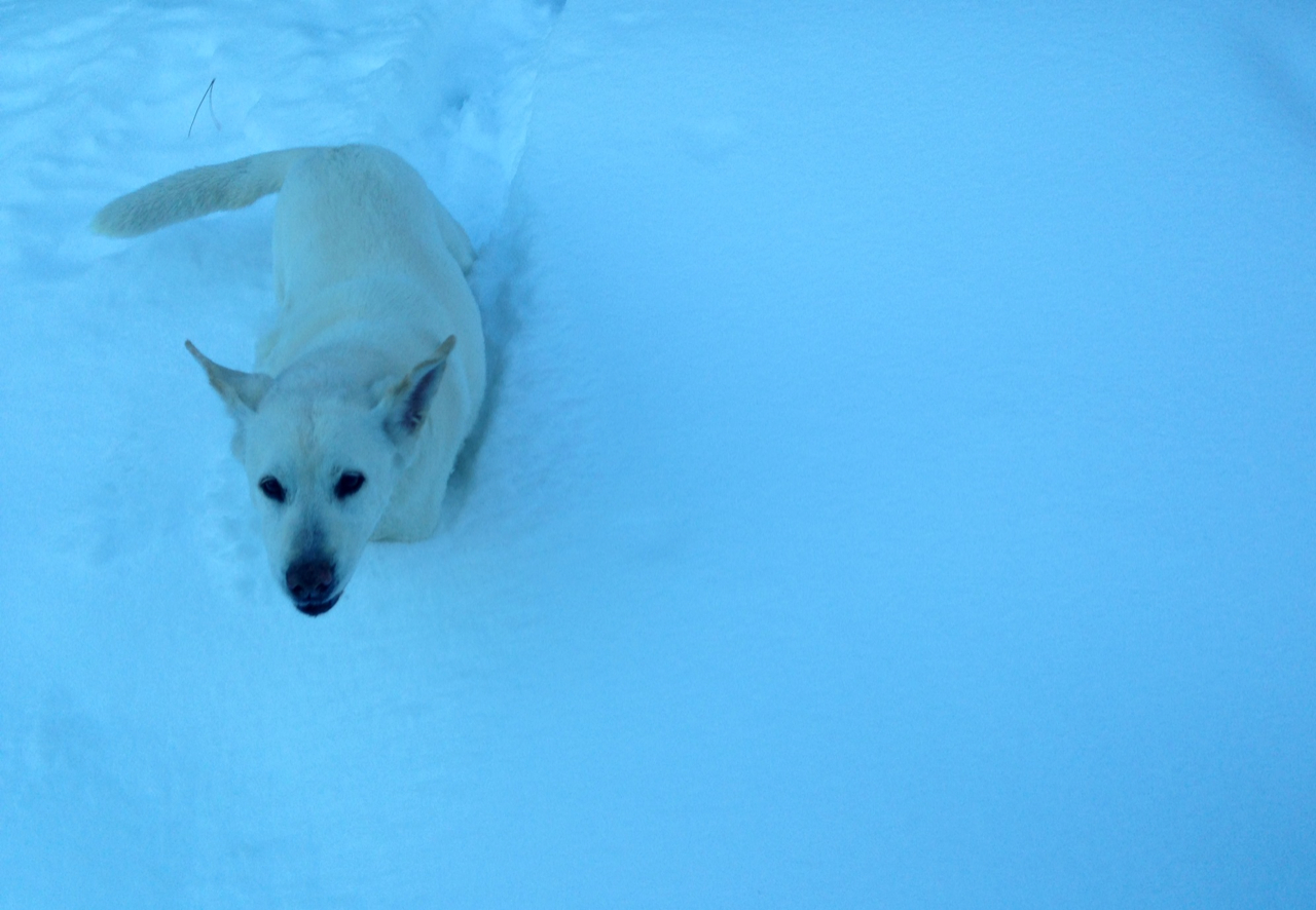 Deaf, mute and slowly going blind, but still game for chest-deep snow wallowing. Love our 15-year-old Boo.