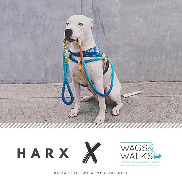 We started this company with the goal of making beautiful products that people would love and to save the lives of as many dogs as possible. In keeping with that mission, we've partnered with @wagsandwalks and will donate 100% of proceeds this month to @wagsandwalks to help them save and find forever homes for even more dogs. • If you have been looking for a new colorful leash or collar to replace that dirty old collar you've been meaning to get rid of, now is the time. Please TAG your friends & family to spread the word. The more we sell, the more dogs we save! • Since spreading love & doing good in the world is what it's all about at HARX, we want to practice what we preach and make a difference. We love you all and thank you for helping us make this world a better place! 🙌🏼🙌🏼🙌🏼 | 📸: Wags & Walks alum Zero @madimarie
