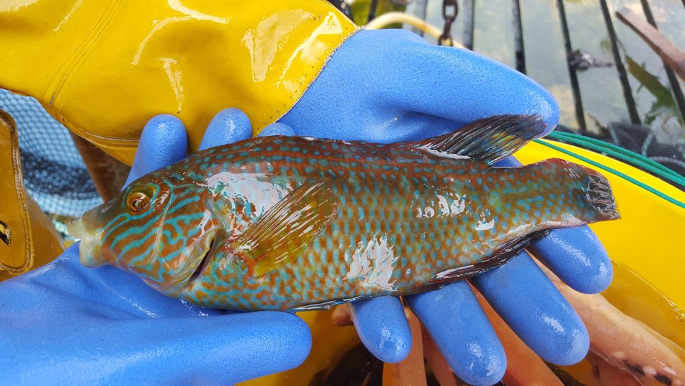 spectacular corkwing wrasse