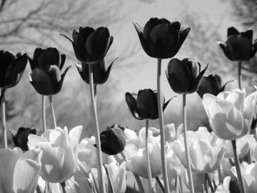 Tulip Bouquet B&W