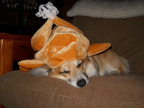 corgie thanksgiving.jpg