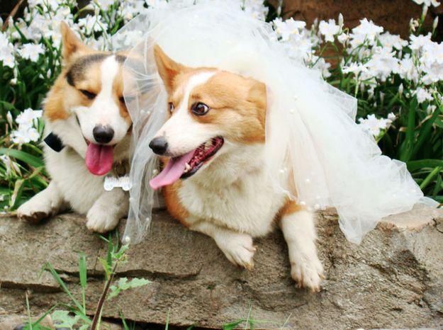 wedding corgos.jpg