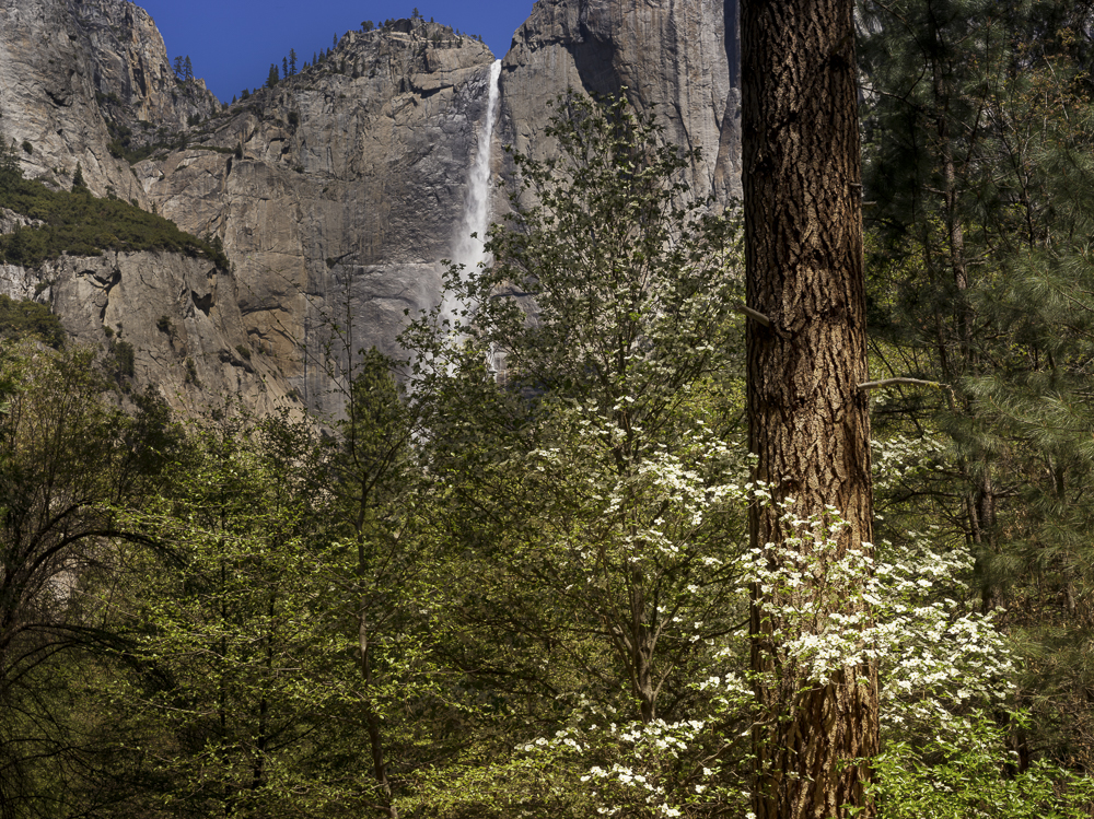 Dogwoods and Upper Yosemite Falls