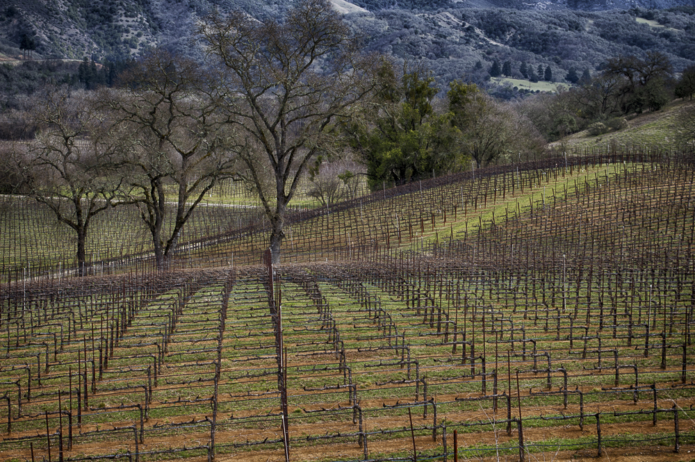 Vineyards in Winter,  Burke Hill, Ukiah CA