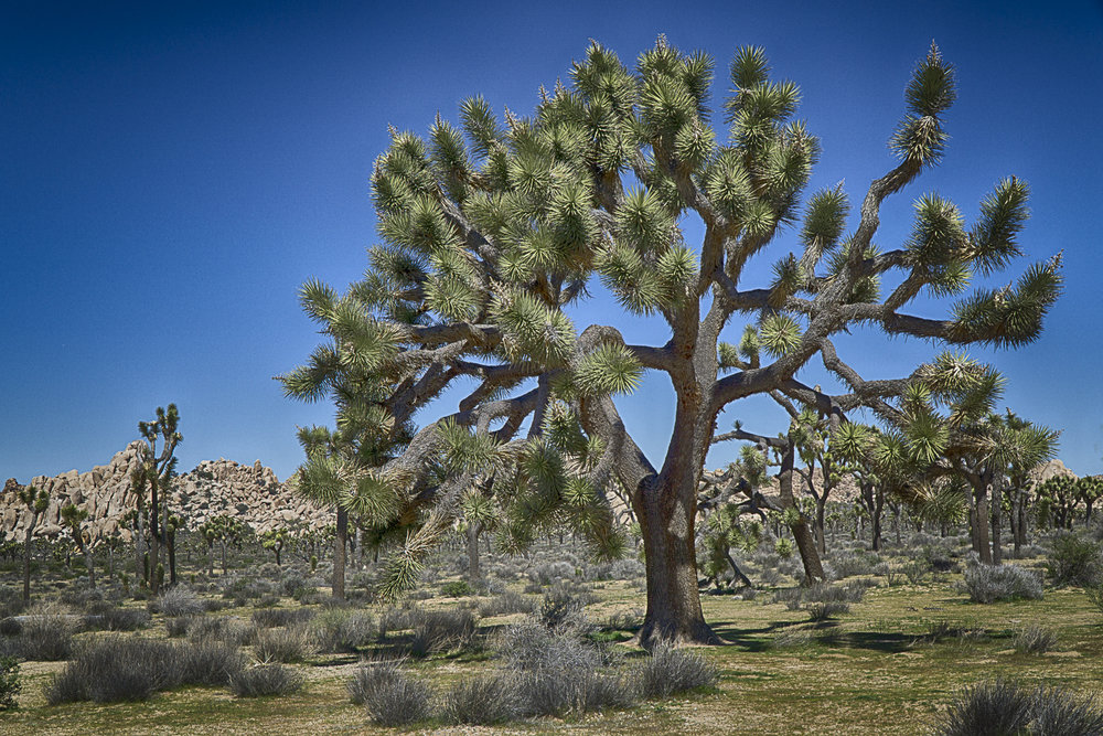 Joshua Trees, Joshua Tree NP