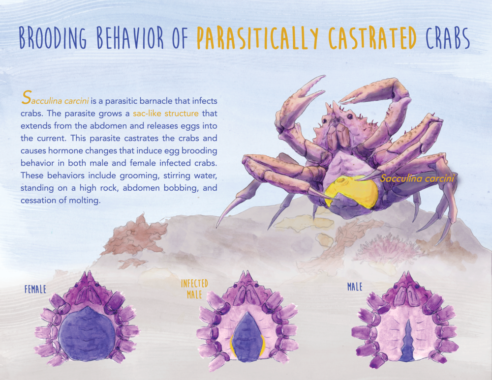 Parasitically Castrated Crabs