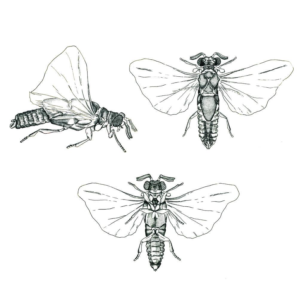 Strepsipteran