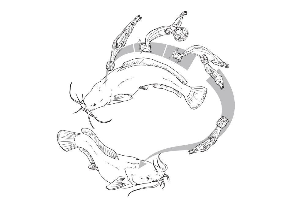Monogenea (Viviparous)