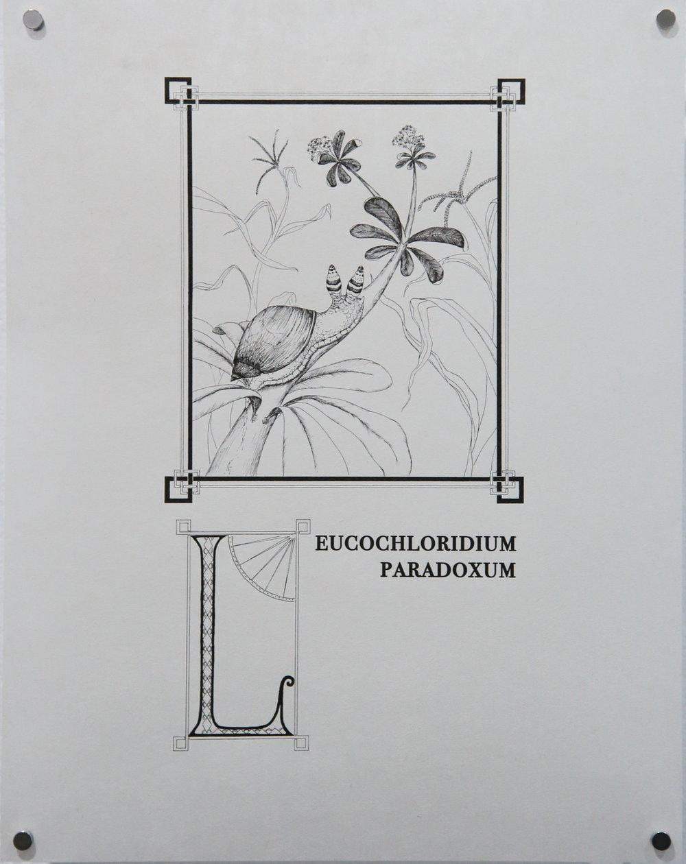 Leucochloridium paradoxum