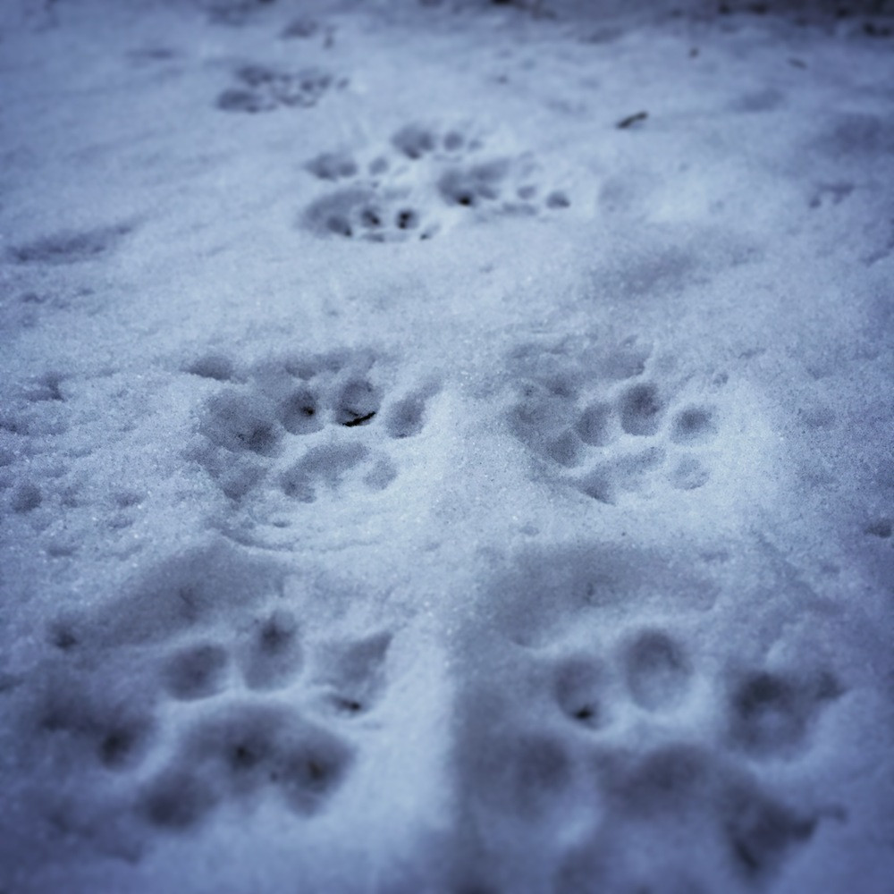 I believe these are wolf tracks.