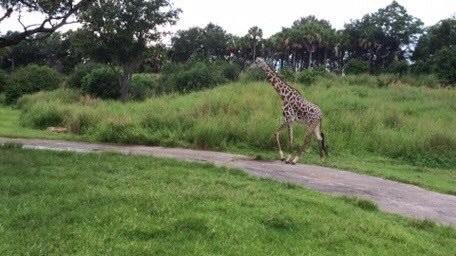 Giraffe running near our safari at the Animal Kingdom