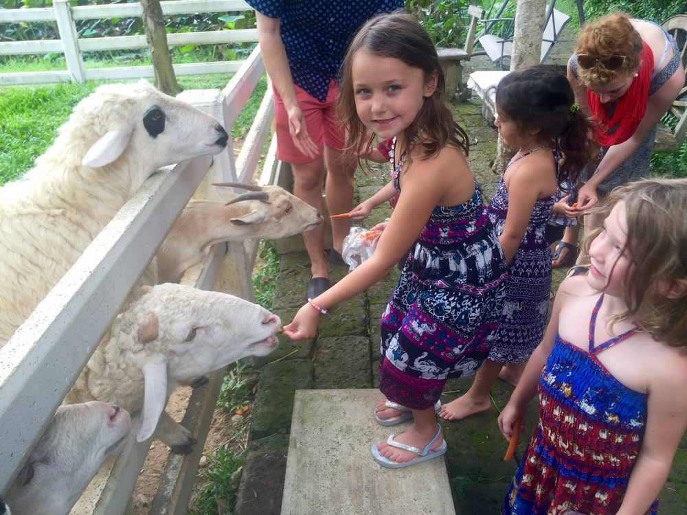 Feeding carrots to the sheep and goats at Snowbuff Coffee