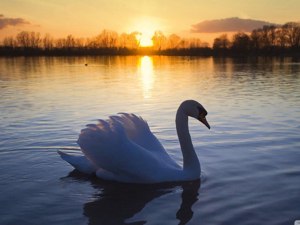 Swan-In-the-Lake.jpg