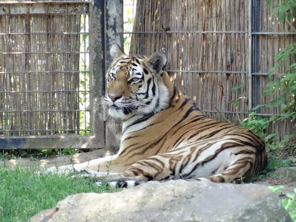 01.Aug 2015 : Tiger