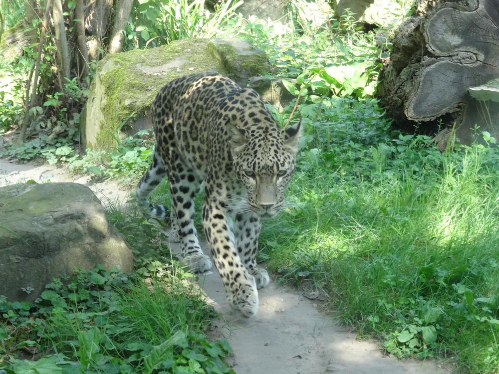 01.Aug 2015 : ein hübscher Leopard