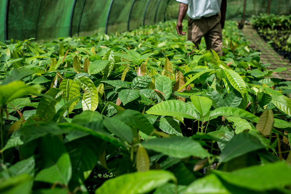 Workers care for tiny cacao plants at Hotel Chocolat's nursery, convincing them to grow into tall trees. Photo by Jenny Sathngam.