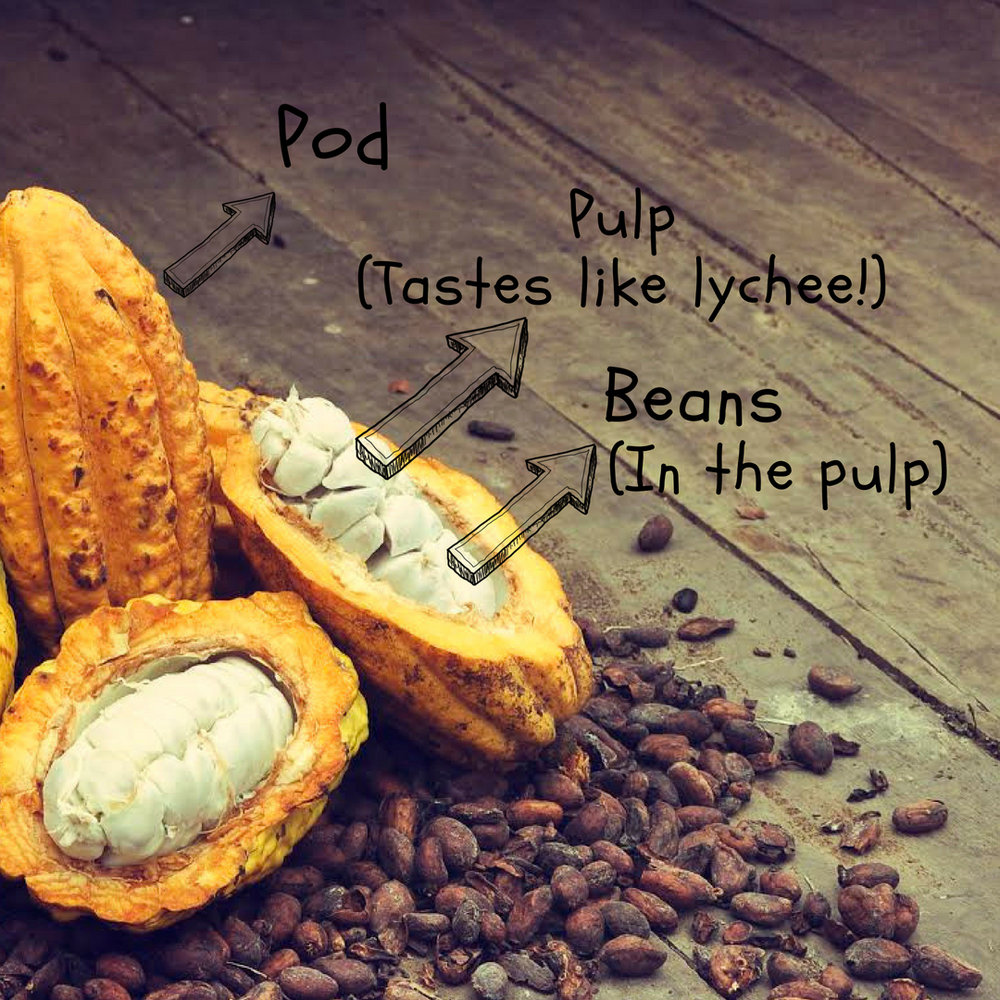CacaoPodDissected_Toak.jpg