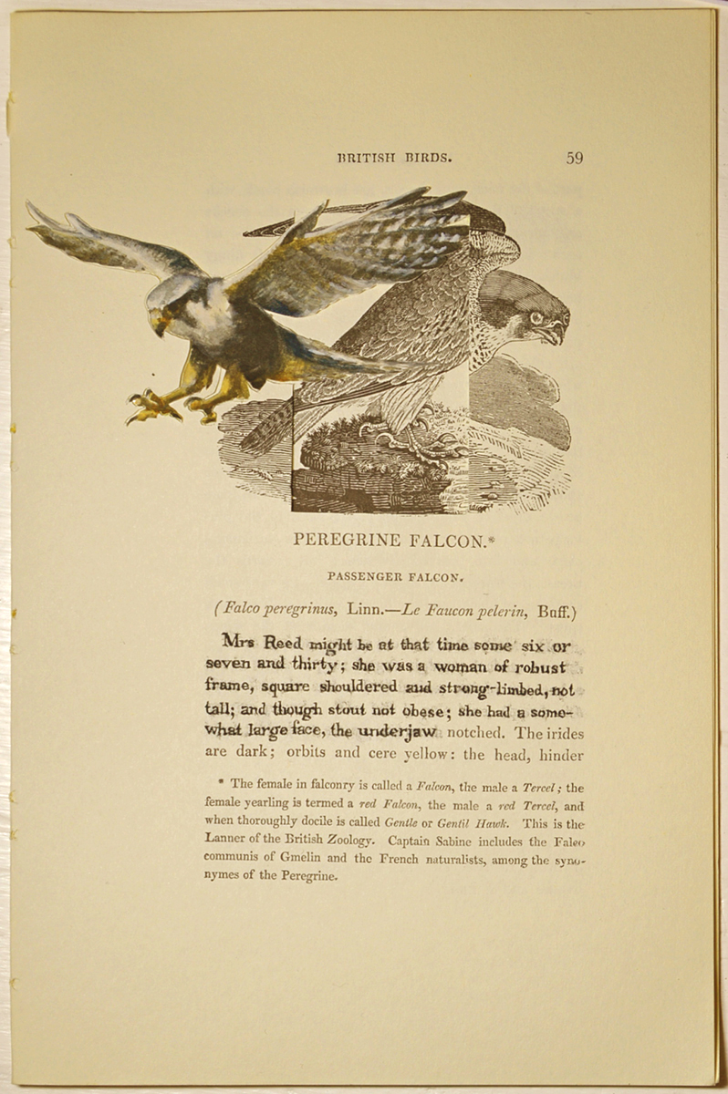 The Peregrine Falcon (Sarah Reed)