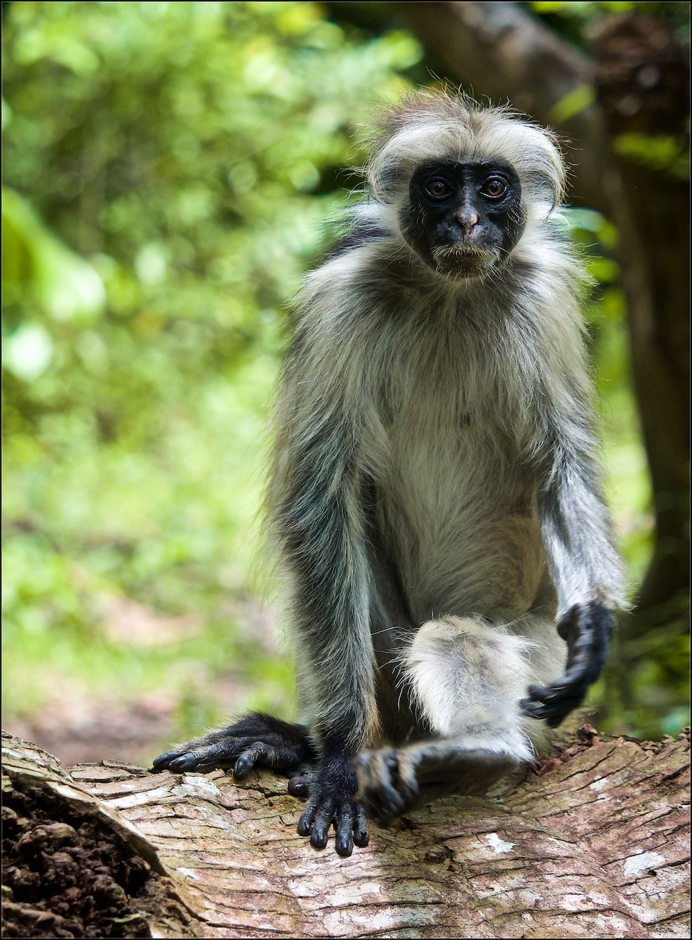 The Red Colobus