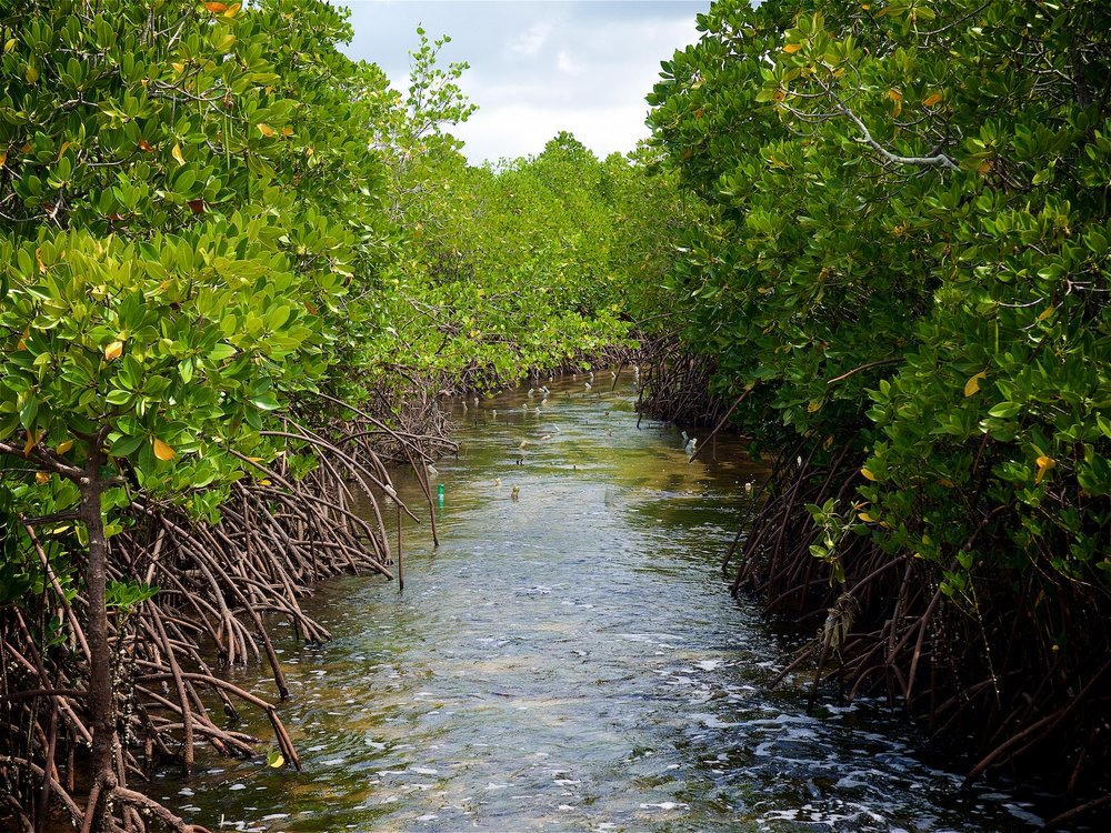 Mangroves on Uzi lsland