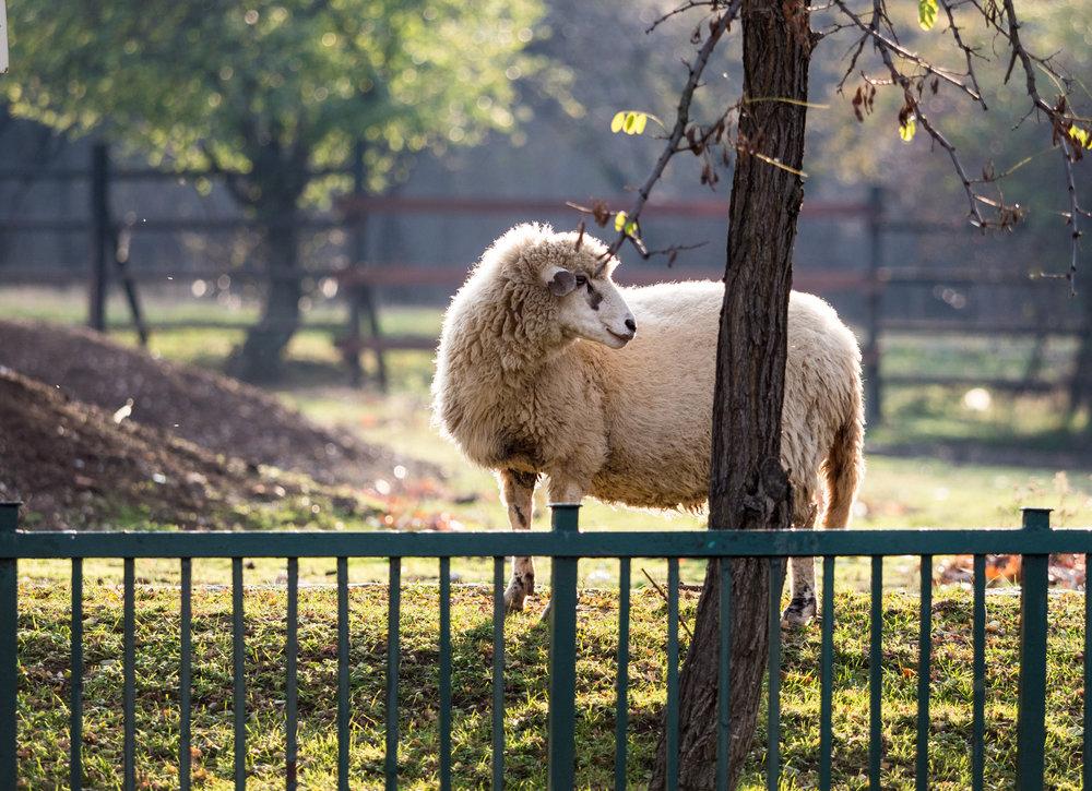 Lamb's Wool