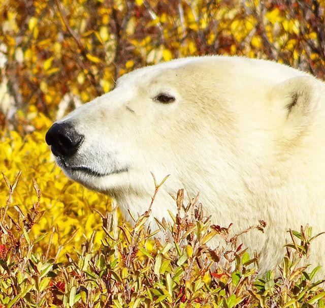 Hey  #Polarbear #Churchill #Manitoba #Canada