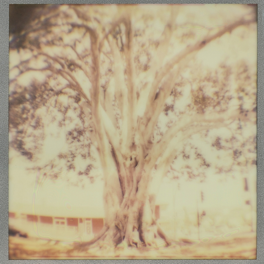 Santa Paula CA, Giant Fig Tree (Expired film, fish eye lens)