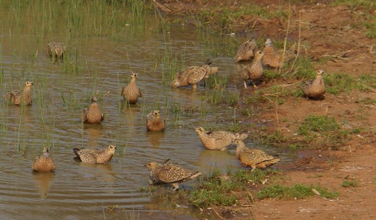 Burchell's sandgrouse wetting their feathers to take water to their chicks. | PR Ehrlich