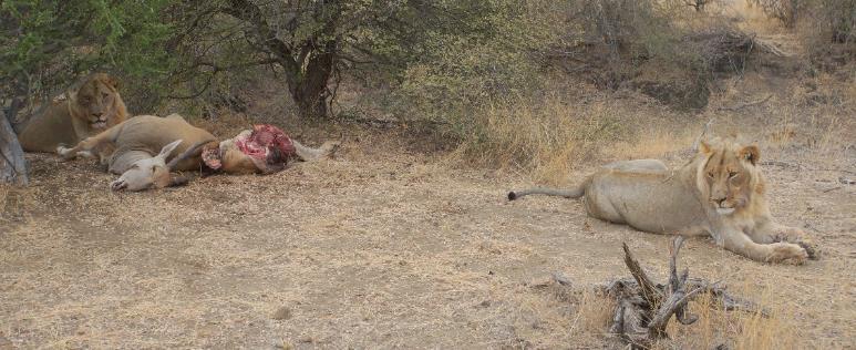 Young lions guarding eland kill. | PR Ehrlich