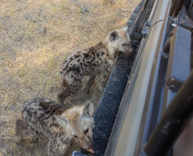 Spotted hyena pups getting salty water from field vehicle running board. | PR Ehrlich
