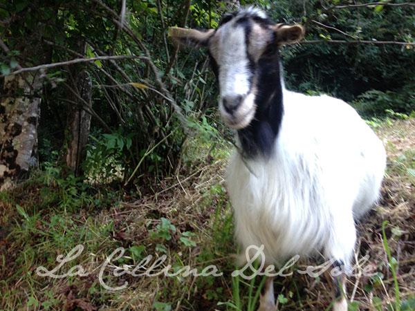 lacollinadelsole-goat.jpg