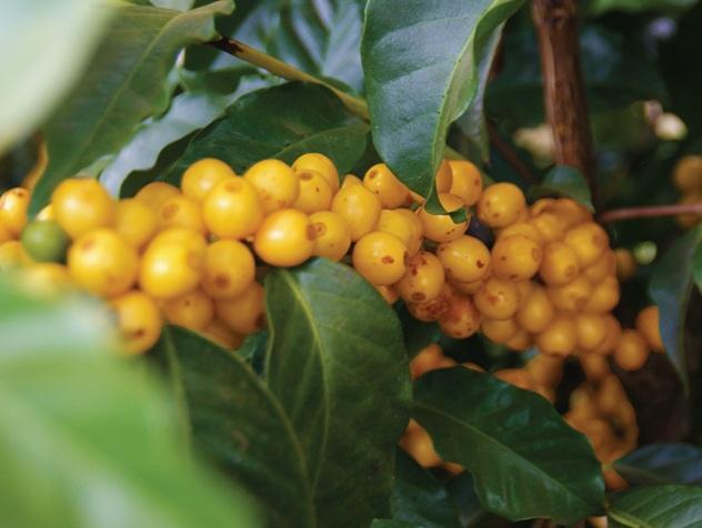 Topazio cherries. Image Ally Coffee Brazil