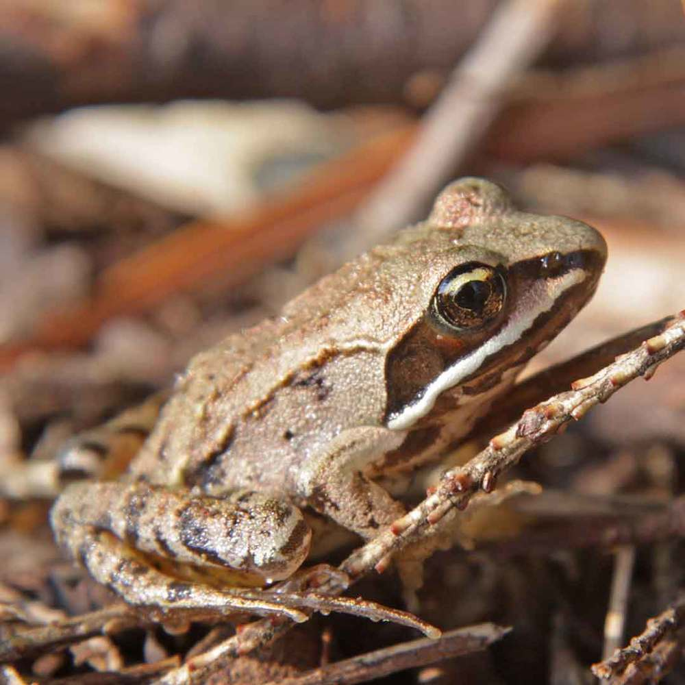 Wood Frog