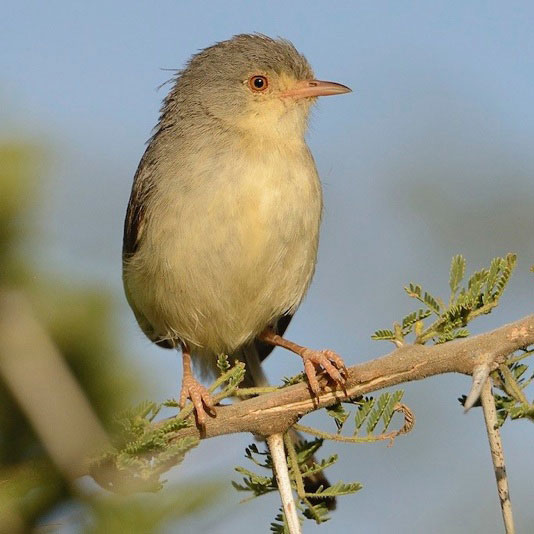Red-Bellied Warbler