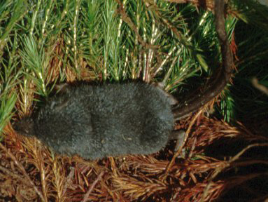Long-Tailed Shrew