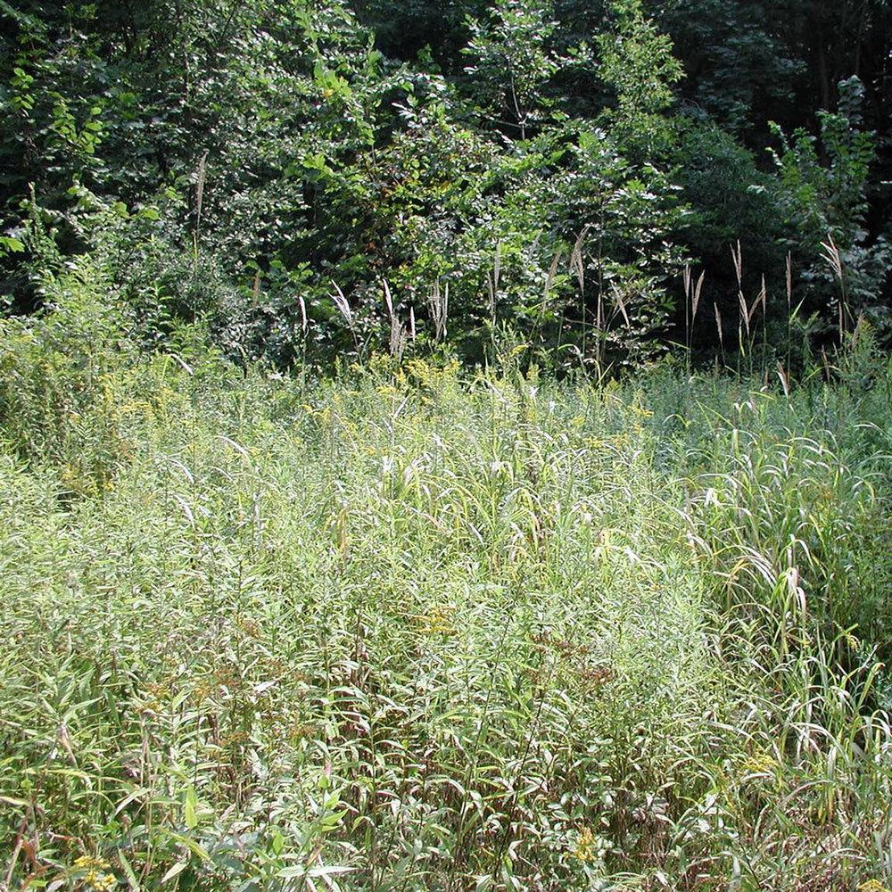 Amur Silver-Grass