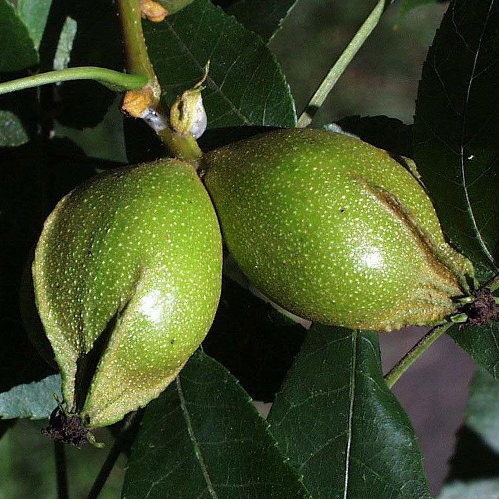 Bitternut Hickory