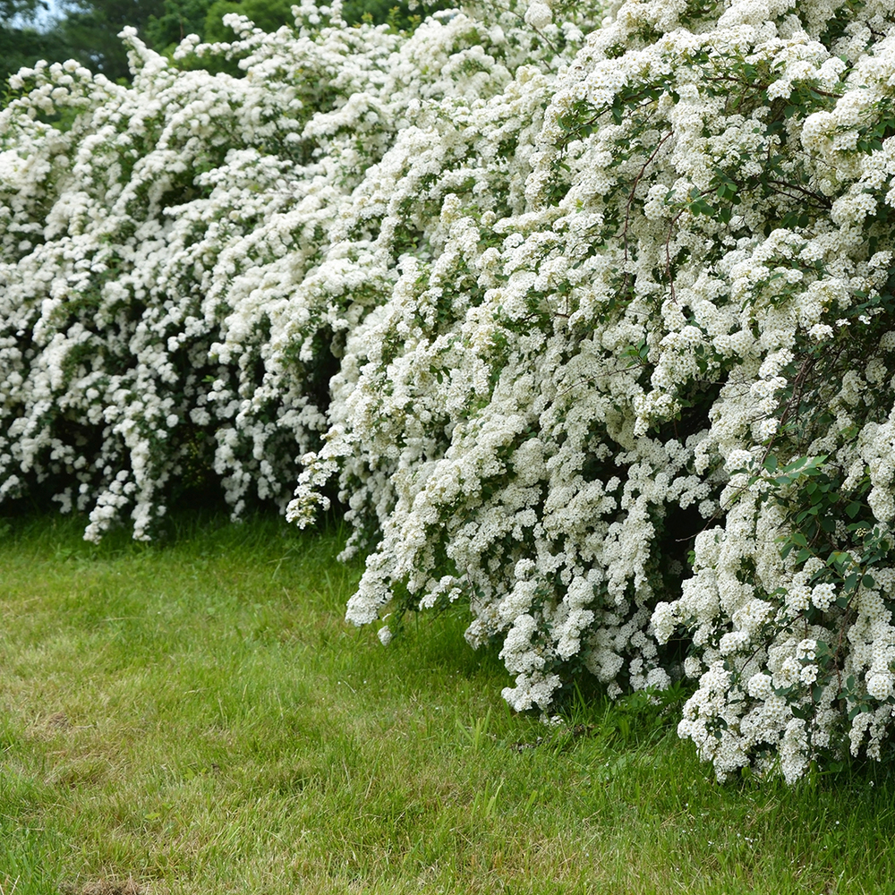 Bridal-Wreath
