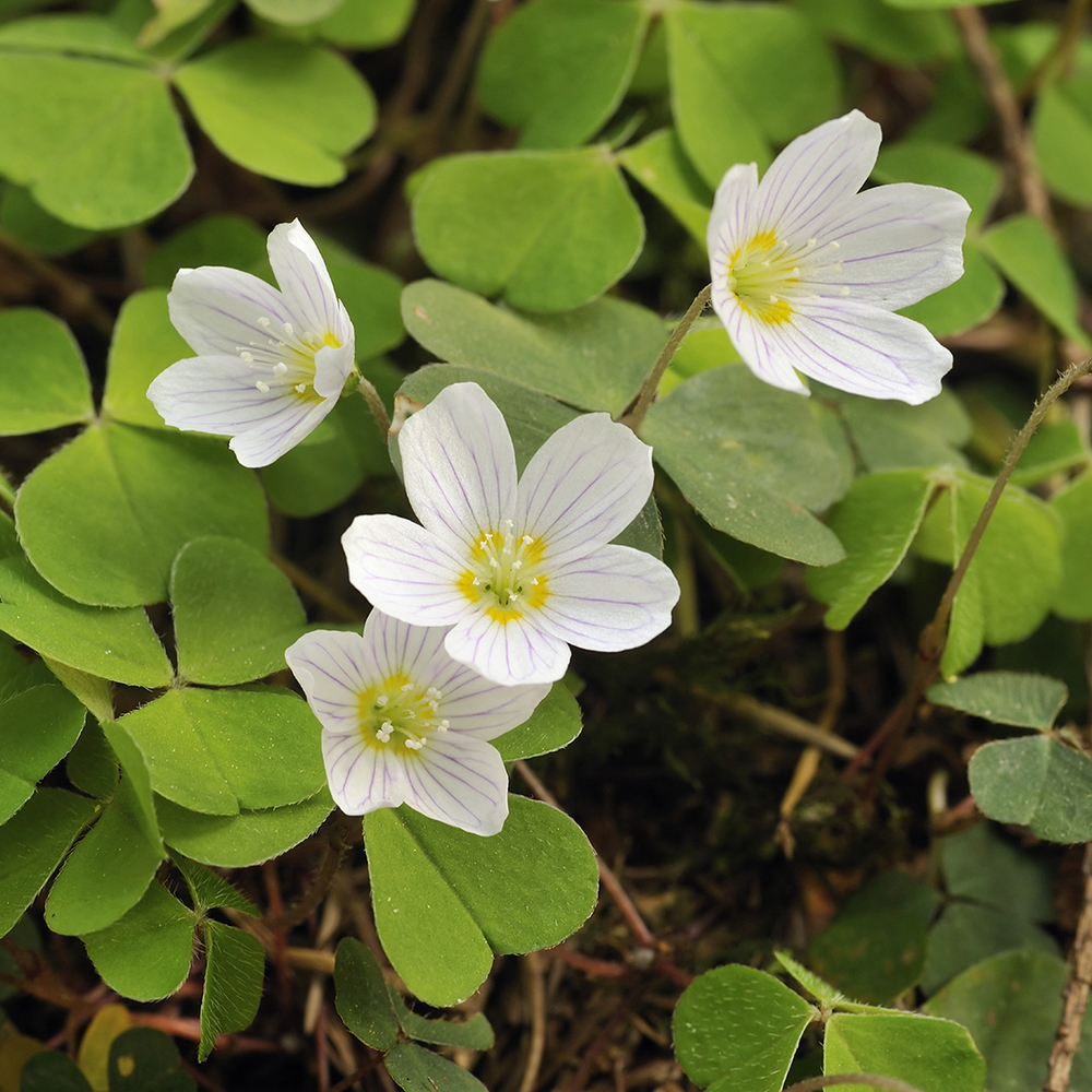 Common Woodsorrel
