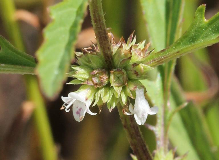 Cut-Leaved Water Horehound
