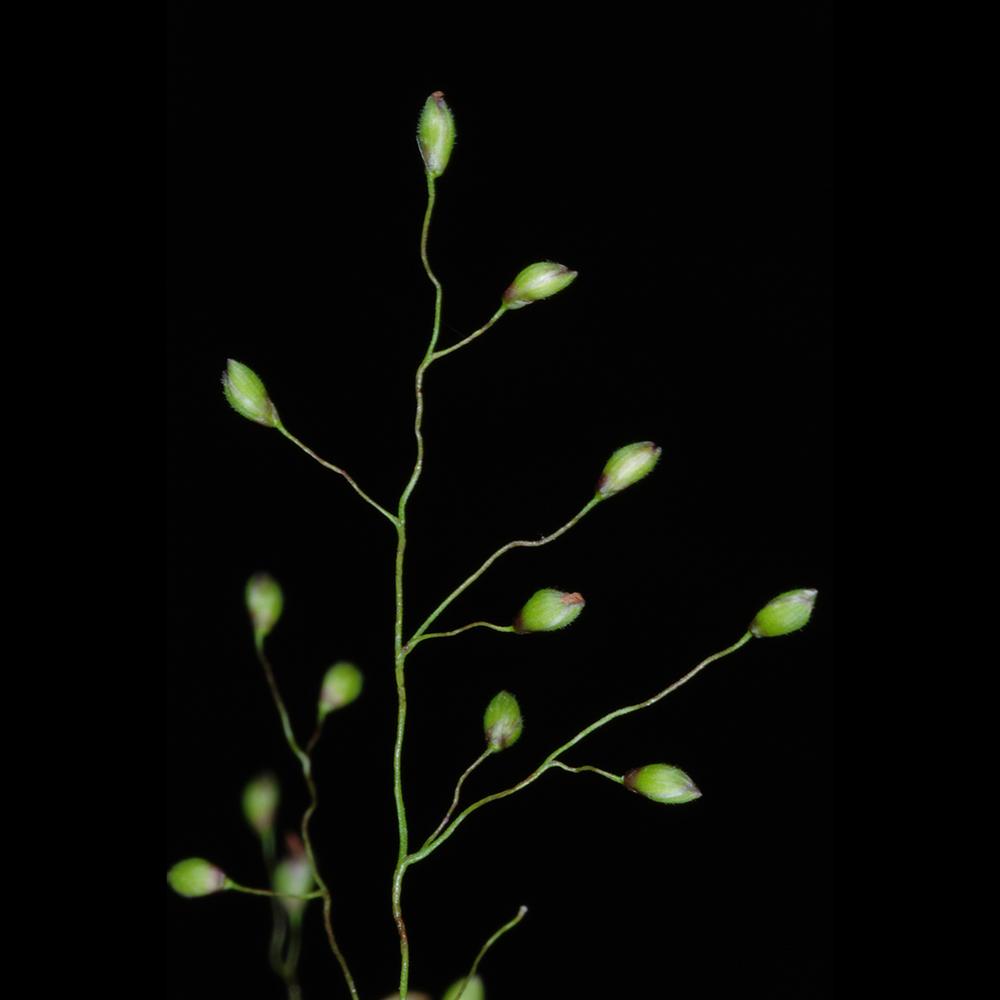 Cypress Panic-Grass