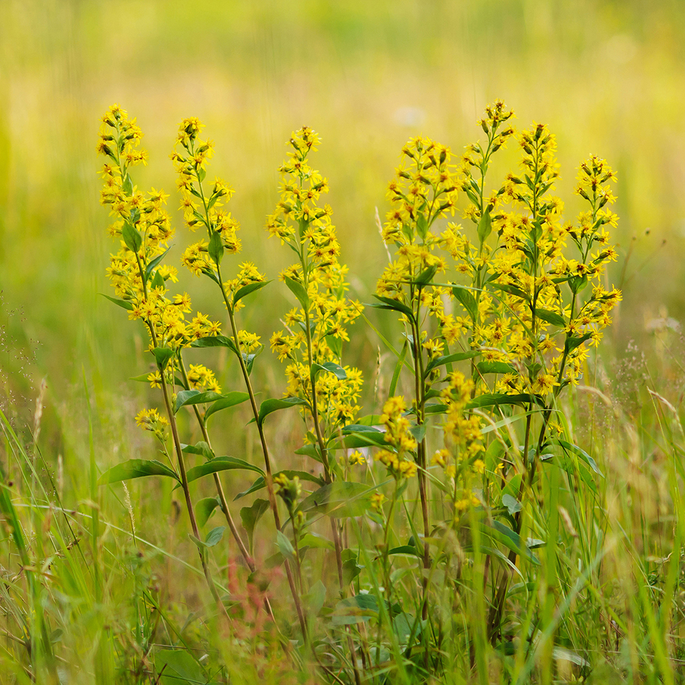 Downy Goldenrod
