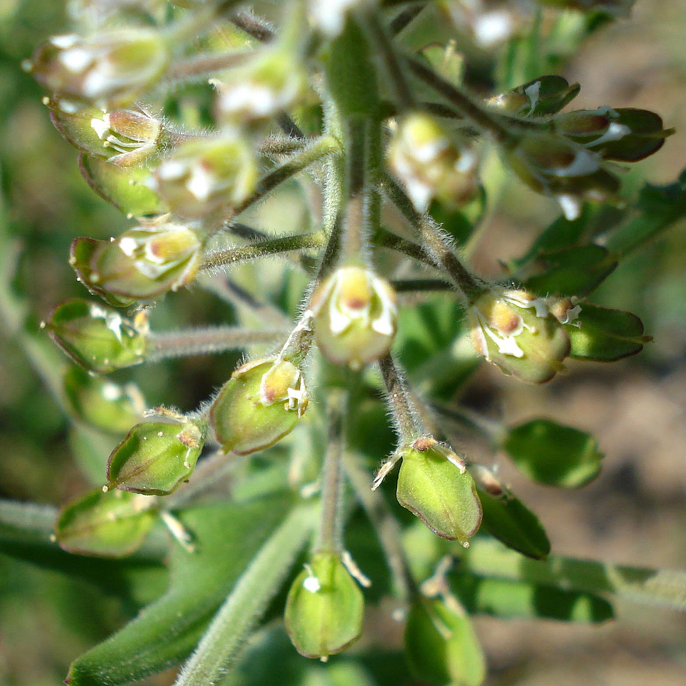 Field Peppercress