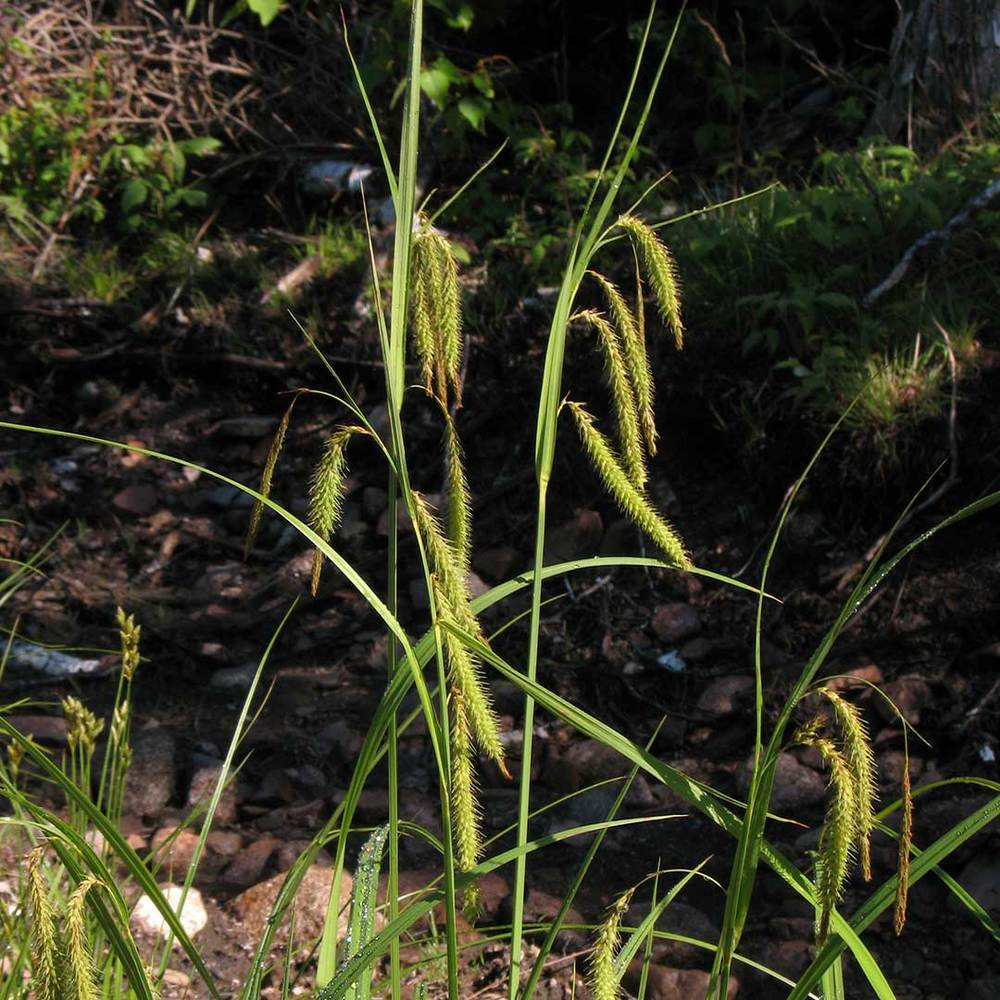 Nodding Sedge