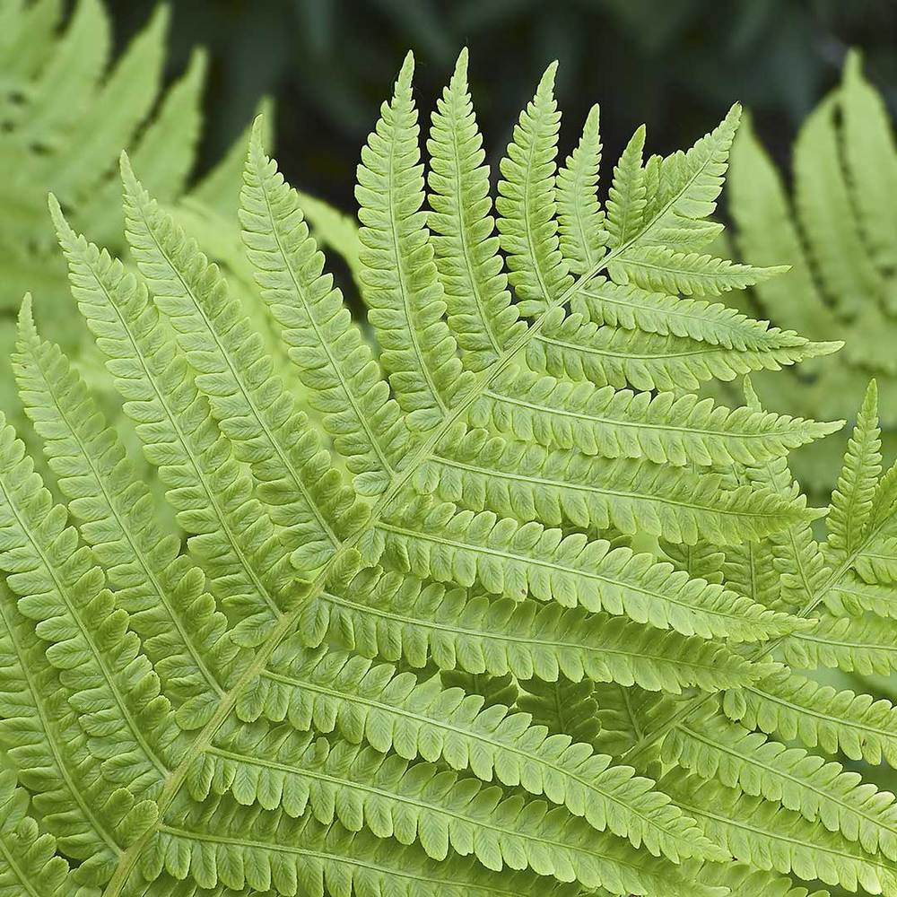 Northern Lady Fern