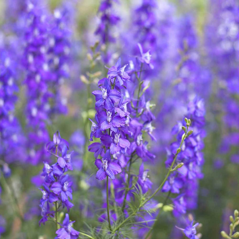Purple Hyssop
