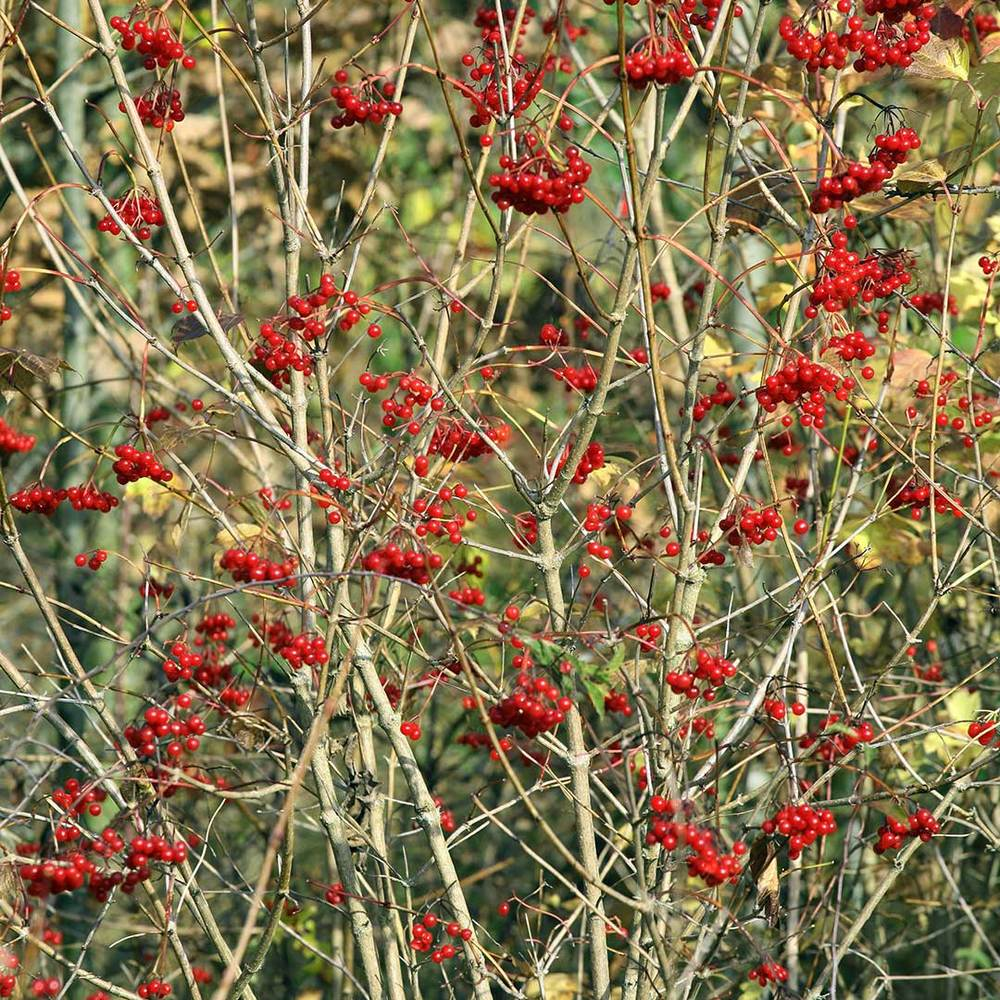 Red Elder Bush