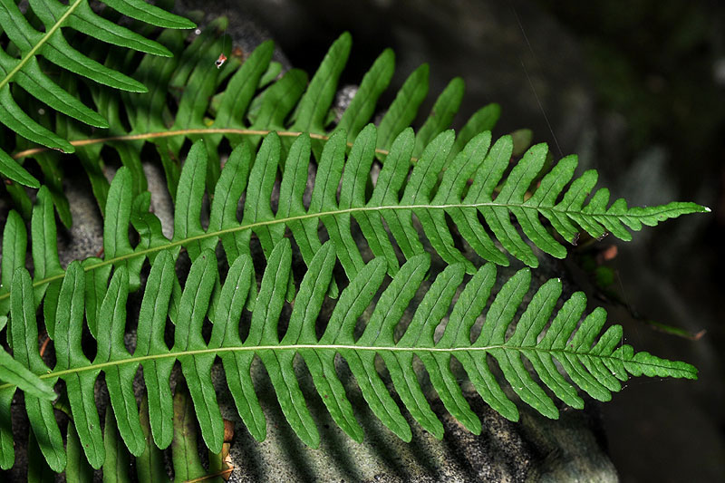 Rock-Cap Fern