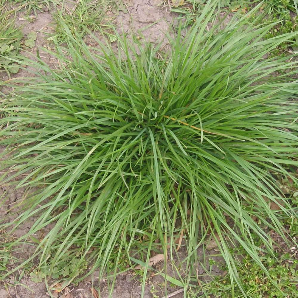 Perrenial Rye Grass